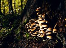 Pilze an einem verrottenden Baumstumpf - Schädliche Pilze im Wald
