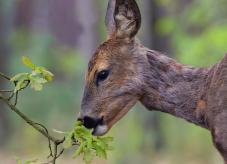 Ein fressendes Reh - Wildschäden im Wald