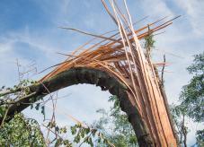 Eine zersplitterte Buche - ein eindrucksvolles Beispiel für einen Sturmschaden - Sturmschäden im Wald