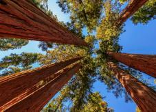 Küstenmammutbaum - Baumrekorde