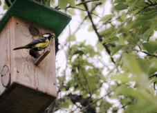 Eine Kohlmeise an einem Nistkasten - Nistkästen für Vögel