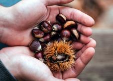 Zwei Hände voll Maroni - Ess-Kastanie: Der Baum des Jahres 2018