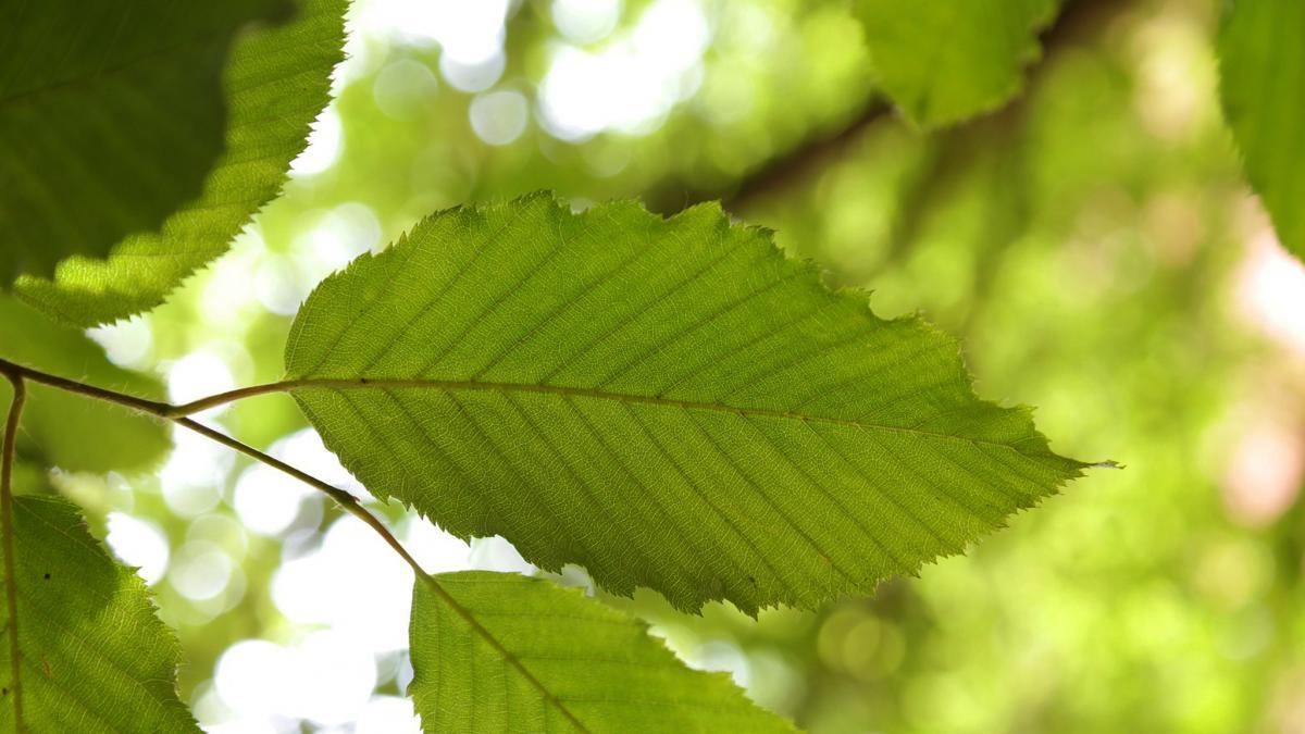 Laubbäume bestimmen heimische blätter Laubbaumarten in