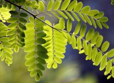 Fiederblätter Baum des Jahres 2020 - Robinie