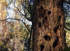 Totholz mit zahlreichen Spechthöhlen