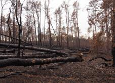 Verkohlte Bäume - Waldbrand-Totholz-Dilemma