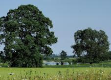 Baum des Jahres - Flatter-Ulme