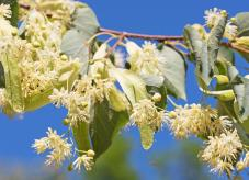 Lindenblüten sehen eher unscheinbar aus - Baum des Jahres 2016